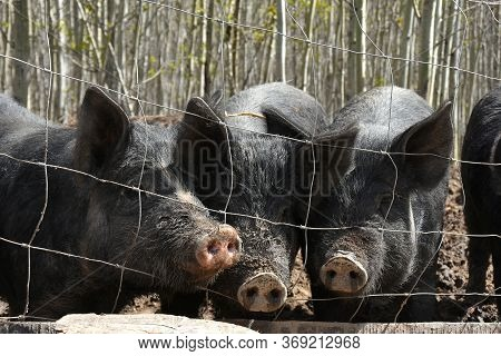 A Close Up  Image Of Young Male Domestic Pigs In A Fenced In Pigpen.