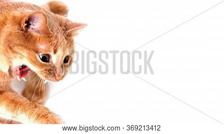 Angry Red Cat With An Open Mouth On A White Background. The Concept Of Pet Danger.