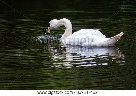 A Graceful White Swan Swimming On A Lake With Dark Water And Eating Green Grass. The White Swan Is R