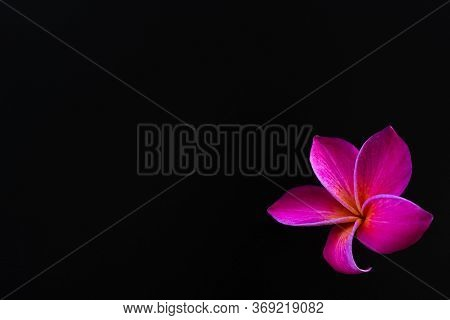 Exotic Frangipani Flowers On A Black Background, Pink Plumeria, Tropical Plants, Closeup Of Asian Fl