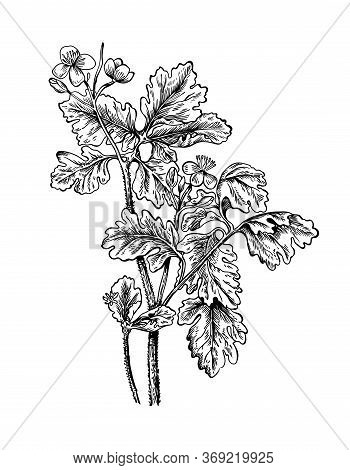 Hand Drawn Branch And Flower Of Celandine With Leafs. Drawing Sketch Of Forest Plant. Ink Line Botan
