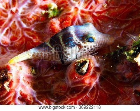 Mimic Filefish Underwater In Mabul Island In Malaysia