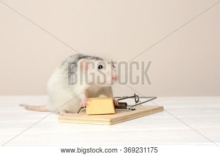 Rat And Mousetrap With Cheese On Table Against Beige Background. Pest Control