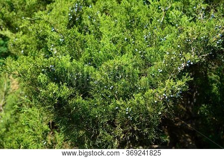 A Large Shrub Of Juniperus Excelsa, Greek Juniper With Lush Foliage Of Green Needle-leaves And Small