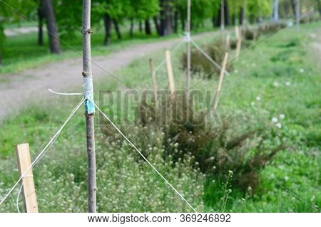 Urban Forestry And Urban Greening: Planting A Row Of Maple Trees, Supporting Them With Wooden Stakes