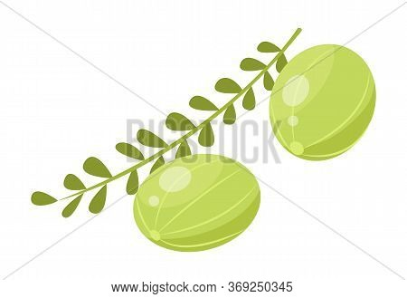 Two Indian Gooseberries And Branch With Leaves. Green Small Berries Called Amla Isolated On White Ba
