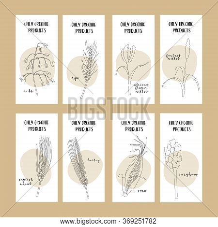 Set Of Flyers With Continuous Line Grain Crops: Oats, Rye, Millet, Wheat, Corn, Barley, Sorghum. Vec