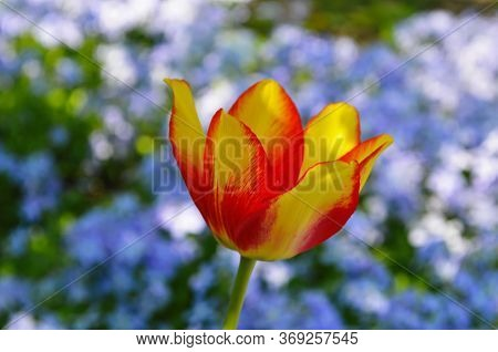 Red Yellow Tulips Against Green Foliage. Red And Yellow Darwin Hybrid Tulips. Red Yellow Darwin Hybr