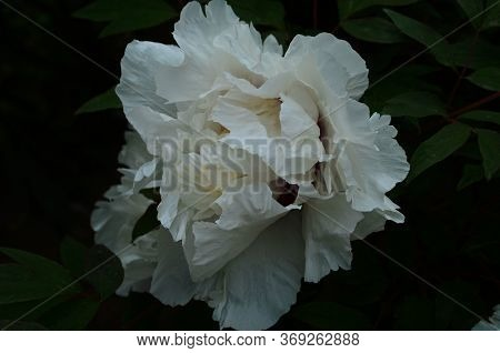 Close-up Of Flowers White Peonies . Beautiful Peony Flower For Catalog. Floral Shop Concept . Beauti