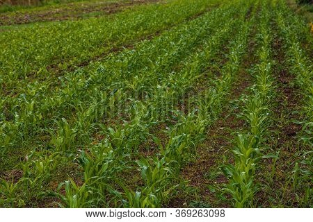 Close Up Of Fresh And  Little Corn Plants On A Field, Rural Corn Growing Concept.