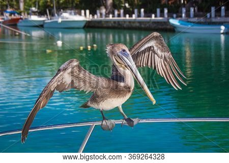 Close-up Of A Gray Pelican Sitting On A Ship. Pelican Spread Its Wings. A Beautiful Pelican Bird On