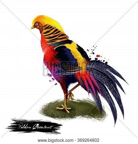 Golden Pheasant Digital Art Illustration Isolated On White. Chinese Pheasant Chrysolophus Pictus Gam