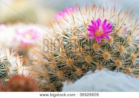 Blossom And Thorn Of Cactus
