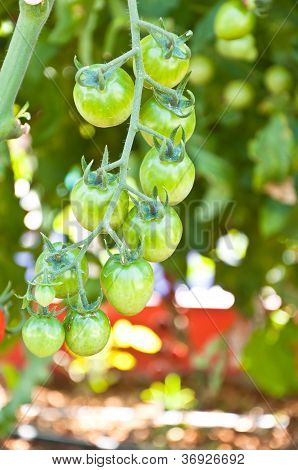 Fresh  Tomatoes Still On The Plant
