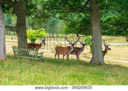 Red Deer In The Red Deer Sanctuary Of Lyme Park, Peak District In Cheshire, Uk