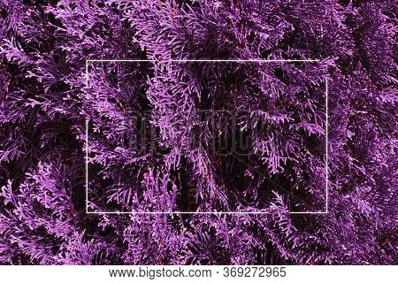 Purple Leaf Thuja Texture Background With White Luminous Frame. Nature Concept.