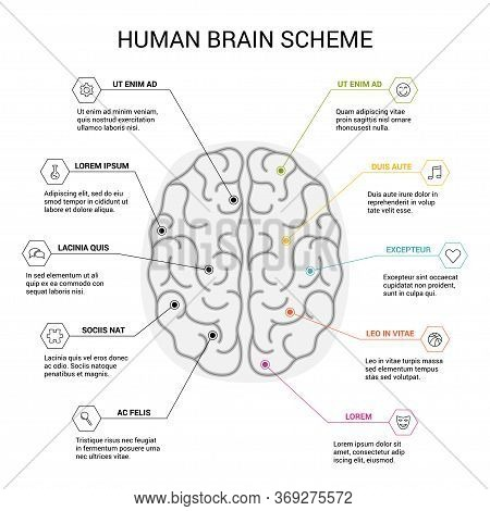 Human Brain Hemispheres. Right And Left Hemisphere Responsible For Creativity And Logic