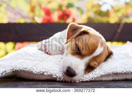 A small white dog puppy breed Jack Russel Terrier with beautiful eyes lays on white carpet on autumn terrace. Dogs and pet photography
