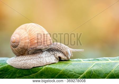Close-up Of Burgundy Snail Walking On The Leaf, Roman Snail, Edible Snail Or Escargot.speed Concept.