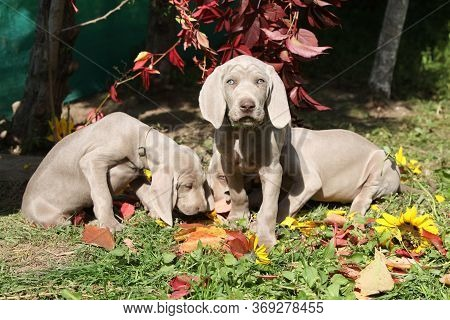 Beautiful Puppies Of Weimaraner Vorsterhund With Flowers And Leaves