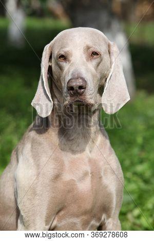 Nice Weimaraner Vorsterhund In The Garden