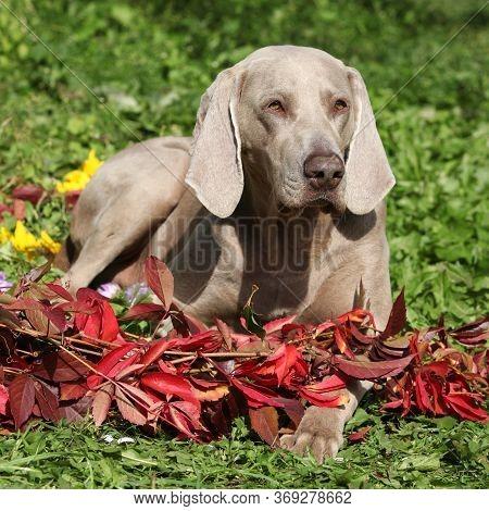 Nice Weimaraner Vorsterhund With Red Leaves