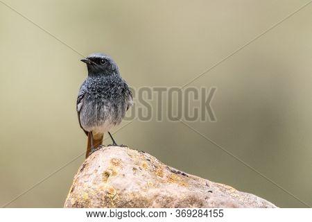 Black Redstart (phoenicurus Ochruros) Is A Litttle And Beautiful Bird Of The Family Of Muscicapidae.