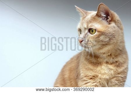 The Red Cat Looks Away With Concentration. Isolated Animal.