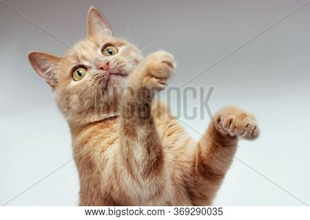 The Red Cat Raised Both Front Paws. Isolated Animal.