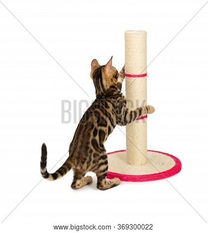 Cute 4 Month Old Bengal Kitten Sharpening Claws On Scratching Post. Black Spotted Tabby Bengal Kitte