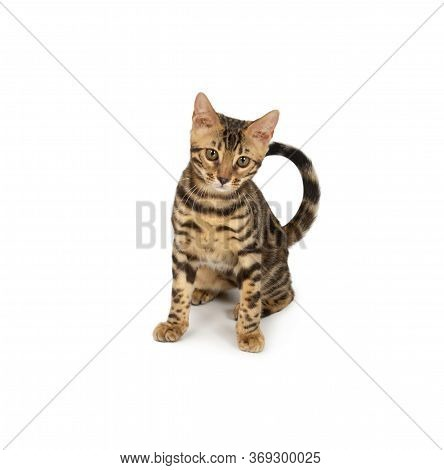 Cute 4 Month Old Bengal Kitten With Large Rosettes And Clean Background Isolated On White Background