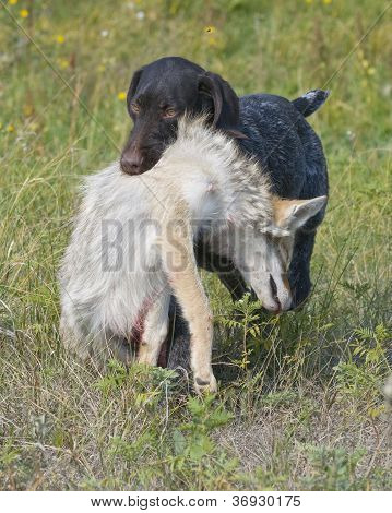 Hunting Dog with Coyote