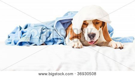 Very much sick dog isolated on a white background. poster