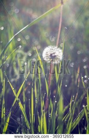 White Dandelion In The Green Grass. Closeup Photo Of Ripe Dandelion. Closeup Of Fluffy White Dandeli