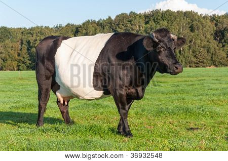 Dutch Belted Cow With Udders And Horns