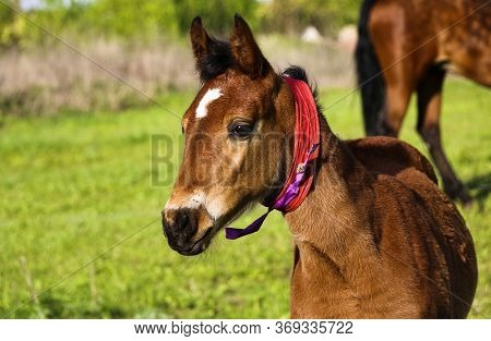 Young Thoroughbred Brown Foal Walks And Plays On Green Pasture. Little Stallion Frolic And Eat Grass