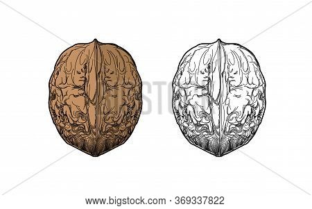 Walnut - A Detailed Illustration Of Thin Lines. Walnut - Coloring Book For Food. Snacks - Realistic