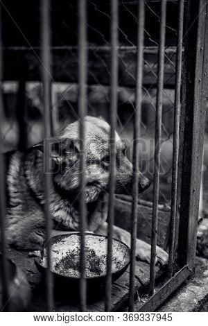 A Big Sad Shepherd In An Old Aviary. Monochrome Photo
