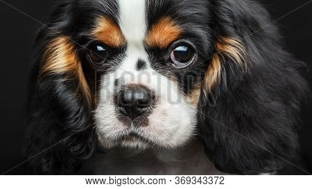 Cavalier King Charles Spaniel Dog Studio Portrait Isolated Over Black Background. Extremely Close Up