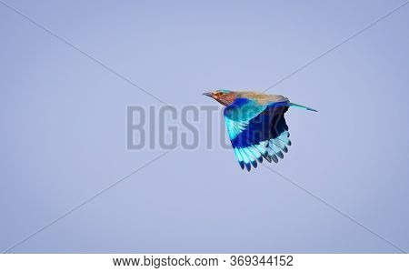 The Indian Roller Is A Bird Of The Family Coraciidae, The Rollers. It Occurs Widely From West Asia T