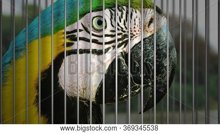 Wildlife Trafficking Concept. Wild Macaw Being Captured In A Cage Of An Illegal Wildlife Trade.