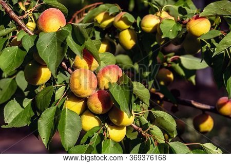 Ripe Sweet Apricot Fruits Growing On A Apricot Tree Branch.