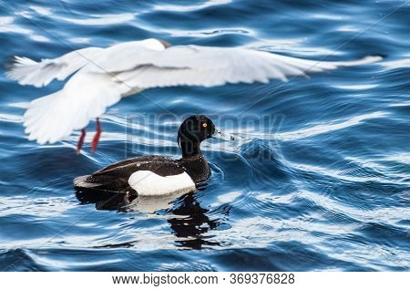 Tufted Duck, Aythya Fuligula, Single Male On Water. A Diving Gull Is Blurred In Motion