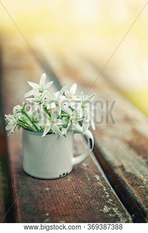 Goose Bow Is A Small White Flowers Of The Snowdrop. Goose Onions In The Flowering Phase