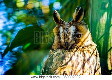 Closeup Of The Face Of A Northern Long Eared Owl, Popular Bird Specie From Europe And America