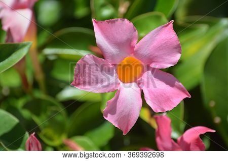 Dipladenia, Mandevilla Sanderi, Is A Annual Shrub. With Showy Pink, Red, Raspberry Splash Blooms In