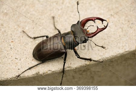 Close-up Of A Stag Beetle On Pavement