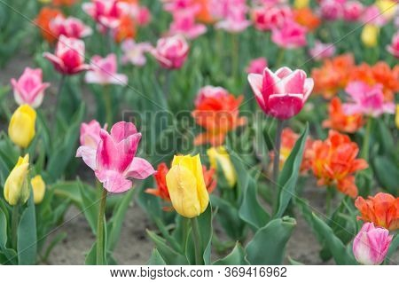 Happy Womens Day. Spring Floral Background. Perfume Fragrance And Aroma. Multicolored Flowers. Tulip