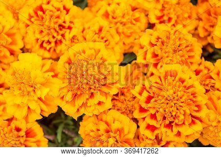 Brighten Up Any Landscape. Marigold Tagetes Background. Flower Garden And Gardening. Gardening And L