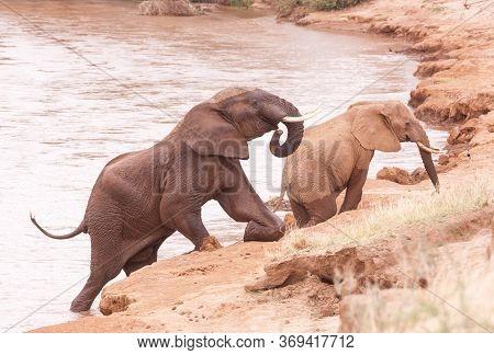 Elephants Climbing Up A River Bank On Their Knees In Samburu Kenya